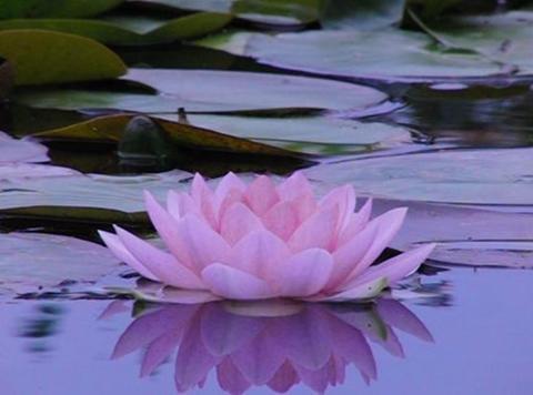 Lotus B Reflections on Water 2 Loop Stock Video Footage
