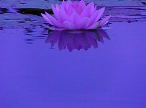 Lotus C Water Drops and Ripples 1 Loop Stock Video Footage