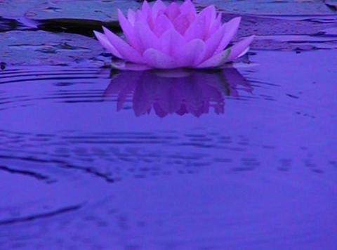 Lotus C Water Drops and Ripples 3 Loop Footage