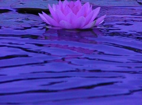 Lotus C Water Drops and Ripples 3 Loop Stock Video Footage