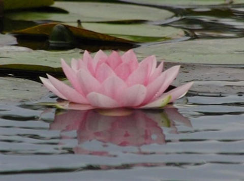 Lotus D Water Drops and Ripples 2 Loop Stock Video Footage