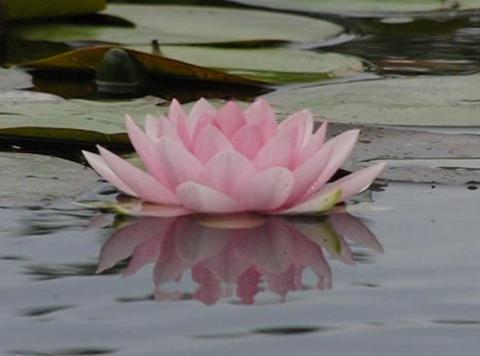 Lotus D Water Drops and Ripples 4 Loop Stock Video Footage