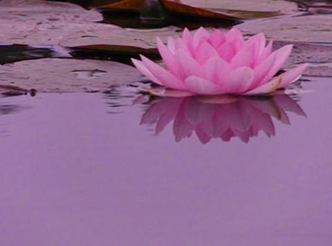 Lotus E Water Drops and Ripples 1 Loop Stock Video Footage