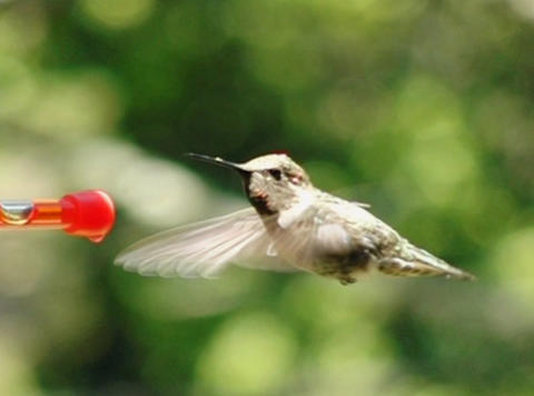 Humming Bird 09 Red Loop 700fps Footage