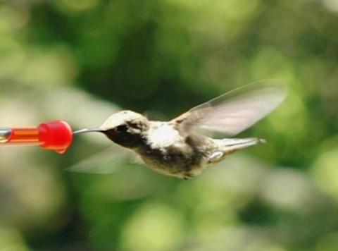 Humming Bird 09 Red Loop 700fps Stock Video Footage