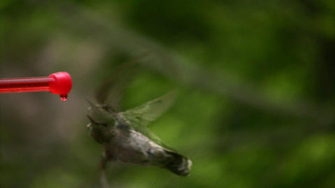 Hummingbird 2 Fly in slow Footage