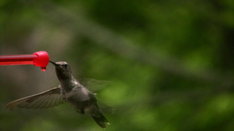 Hummingbird 2 Fly in slow Stock Video Footage