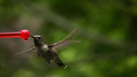 Hummingbird 4 Slow motion 10per Loop Footage