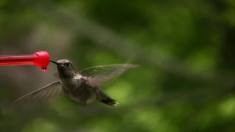 Hummingbird 4 Slow motion 10per Loop Stock Video Footage