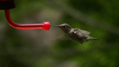 Hummingbird 6 Fly in Slow motion 10per Stock Video Footage