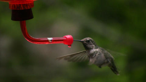 Hummingbird 8 Fly away Slow motion 10per Stock Video Footage