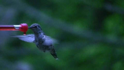 Hummingbird 10 Fly away Stock Video Footage