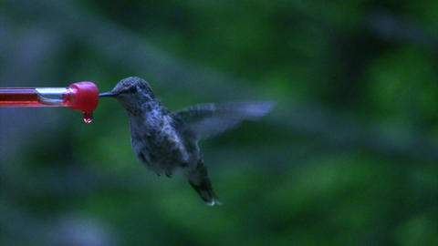 Hummingbird 10 Fly away Footage