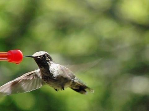 Humming Bird 10 Fly away 1050fps Stock Video Footage