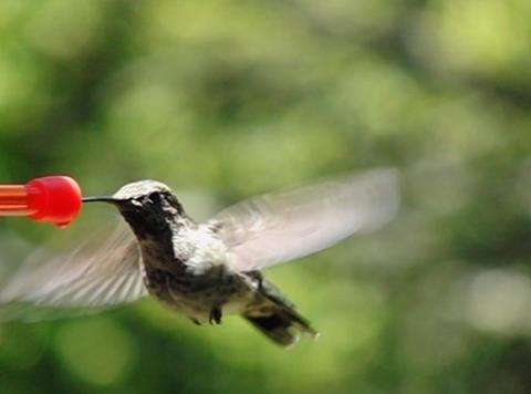 Humming Bird 10 Fly away 1050fps Footage