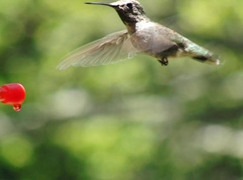 Humming Bird posing in front of the camera Stock Video Footage