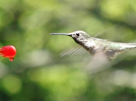 Humming Bird posing in front of the camera Footage
