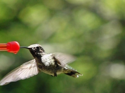 Humming bird flapping its wings and sipping Footage