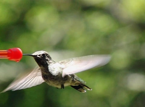 Humming bird flapping its wings and sipping Stock Video Footage