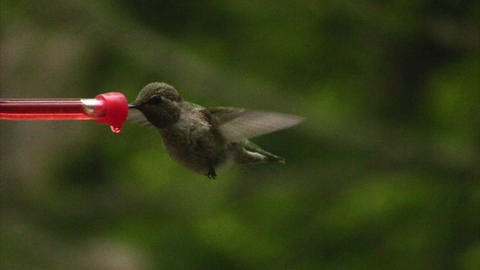 Humming bird flying in and out Stock Video Footage