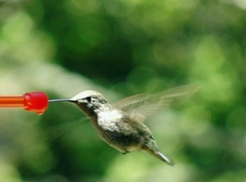 Humming bird busy drinking Stock Video Footage