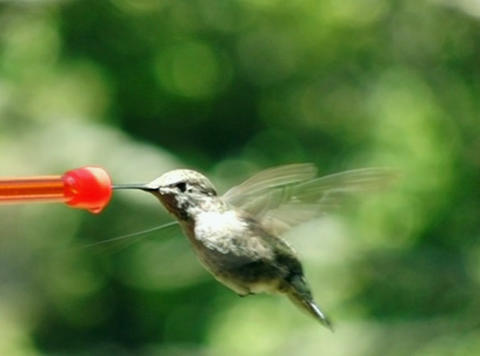 Humming bird busy drinking Footage
