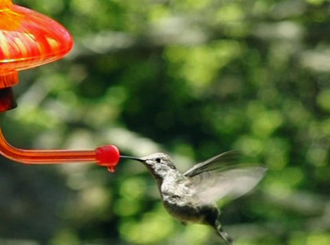 Humming bird flying away after drinking Stock Video Footage