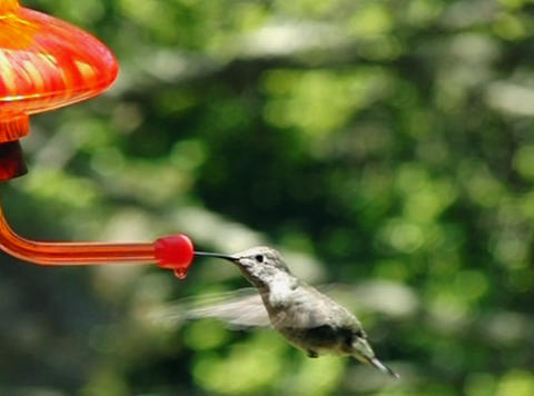 Humming bird drinking water Stock Video Footage