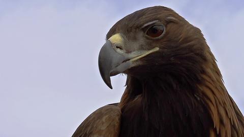 Saker Falcon Head HD Stock Video Footage