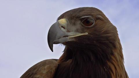 Saker Falcon Head HD Footage