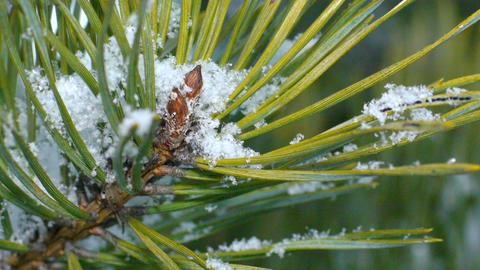 Fir needles under snowflakes, macro Footage