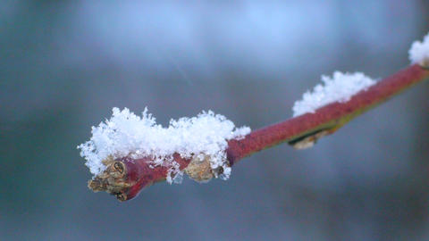 Snowflakes fall on a tree branch. Macro Footage