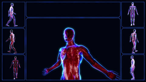 Muscular system Animation