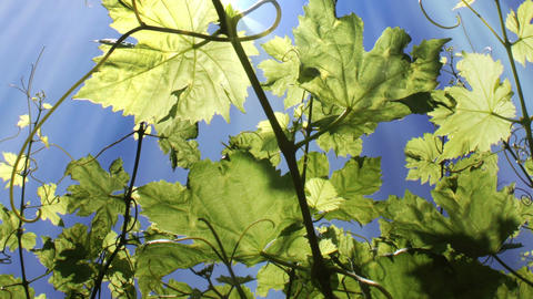 Vine Leaves stock footage