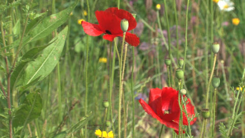 Humming bee in red flower Stock Video Footage
