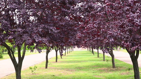 Avenue of trees with purple tree leaves on a sunny day. Prunus virginiana Live Action