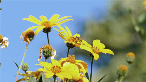 Jerusalem Artichoke Bee Blue Sky Footage