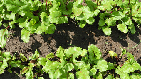 Aerial video of organic vegetables growing on farm. Fresh lettuce growing in Live Action