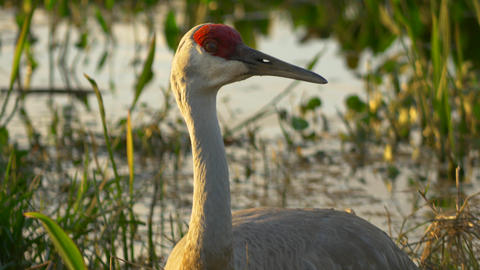 Tilt Up to Spooked Sandhill Crane in Nest, 4K Footage