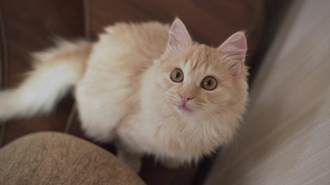 Portrait of a Young White Cat Close-up. Cheerful Kitten Look. The Fun Life of Live Action