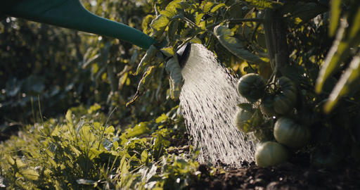 Gardener spray water with watering can in tomato vegetable garden Live Action