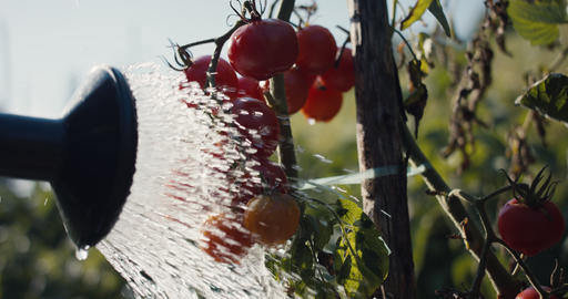Gardener spray water with watering can in red cherry tomato garden Live Action