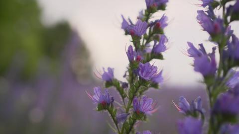 Cyanosis blue. Blue cyaunosis plant. Fields with cyanose Live Action