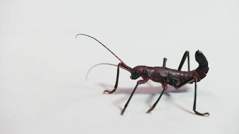 4 Closeup of Phasmid Or Stick Insect Or Stick Bug Live Action