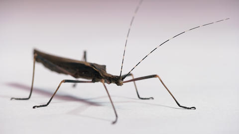 11 Female Stick Insect Or Walking Stick On White Background Live Action