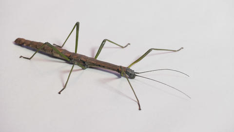 14 Macro Shot Of Tropical Stick Insect Or Stick Bug Live Action