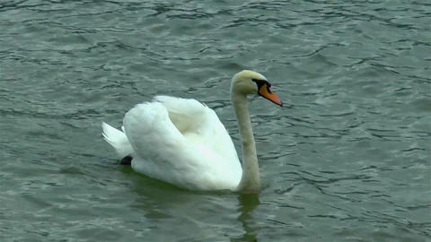 Swan swimming and feeding in a lake Live Action