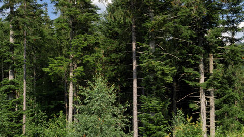 Aerial shot of high old pine trees growing on the high mountain side Live Action