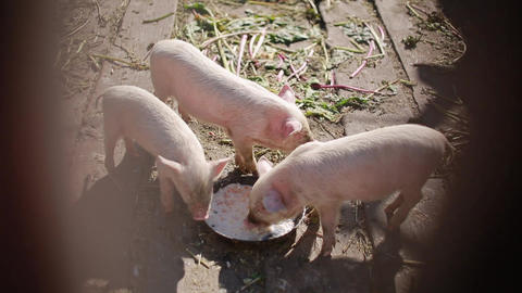Young piglets eat in the yard in the summer. Pig eat from a bowl with chickens Live Action
