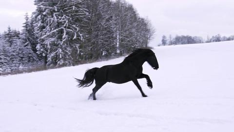 Friesian stallion running in winter field. Black Friesian horse runs gallop in winter Live Action